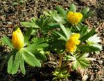 Winterling Bluete gelb Eranthis hyemalis 05