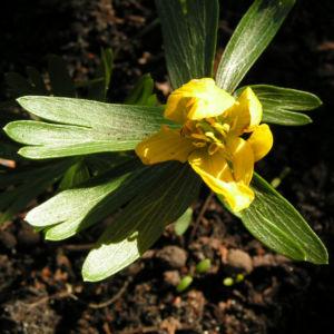 Winterling Bluete gelb Eranthis hyemalis 06