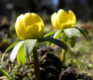 Winterling Bluete gelb Eranthis hyemalis 18