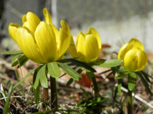Winterling Bluete gelb Eranthis hyemalis 20