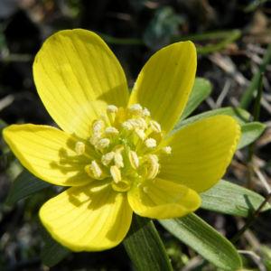 Winterling Bluete gelb Eranthis hyemalis 28