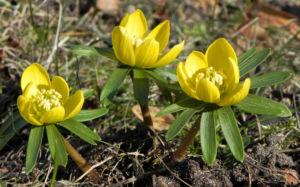 Winterling Bluete gelb Eranthis hyemalis 30