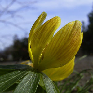 Winterling gelbe Bluete Eranthis hyemalis 01