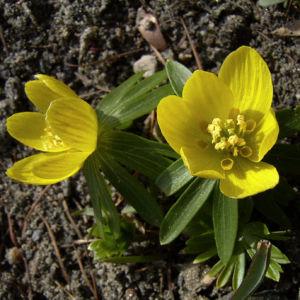 Winterling gelbe Bluete Eranthis hyemalis 03