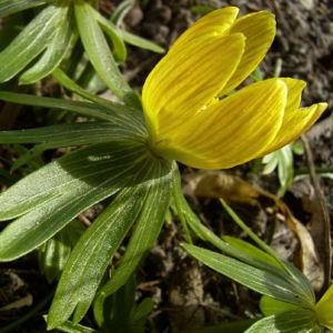 Winterling gelbe Bluete Eranthis hyemalis 05