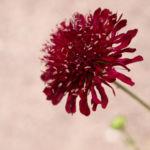 Bild: Rote Witwenblume Blüte dunkelrot Knautia macedonica