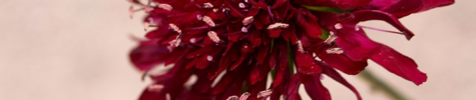 rote-witwenblume-bluete-dunkelrot-knautia-macedonica