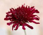 Witwenblume Blute purpur Knautia macedonica 02