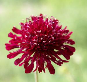 Witwenblume Blute purpur Knautia macedonica 03