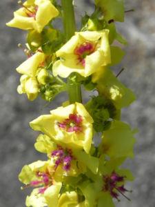 Woll Koenigskerze Bluete gelb Verbascum alpinum 02