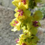 Woll Koenigskerze Bluete gelb Verbascum alpinum 04
