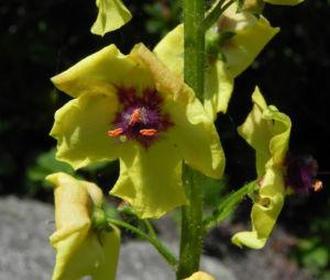 Woll Koenigskerze Bluete gelb Verbascum alpinum 06