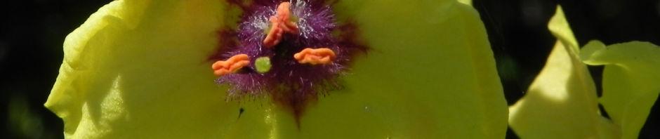 woll-koenigskerze-bluete-gelb-verbascum-alpinum