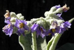 Wollbluetiger Nachtschatten Bluete lila Solanum mauritianum 02