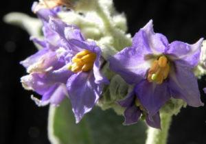 Wollbluetiger Nachtschatten Bluete lila Solanum mauritianum 03