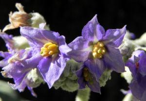 Bild: Wollbluetiger Nachtschatten Bluete lila Solanum mauritianum