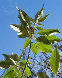 Wollbluetiger Nachtschatten Bluete lila Solanum mauritianum 24