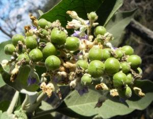 Wollbluetiger Nachtschatten Frucht gruen Solanum mauritianum 01