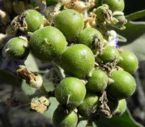 Wollbluetiger Nachtschatten Frucht gruen Solanum mauritianum 02