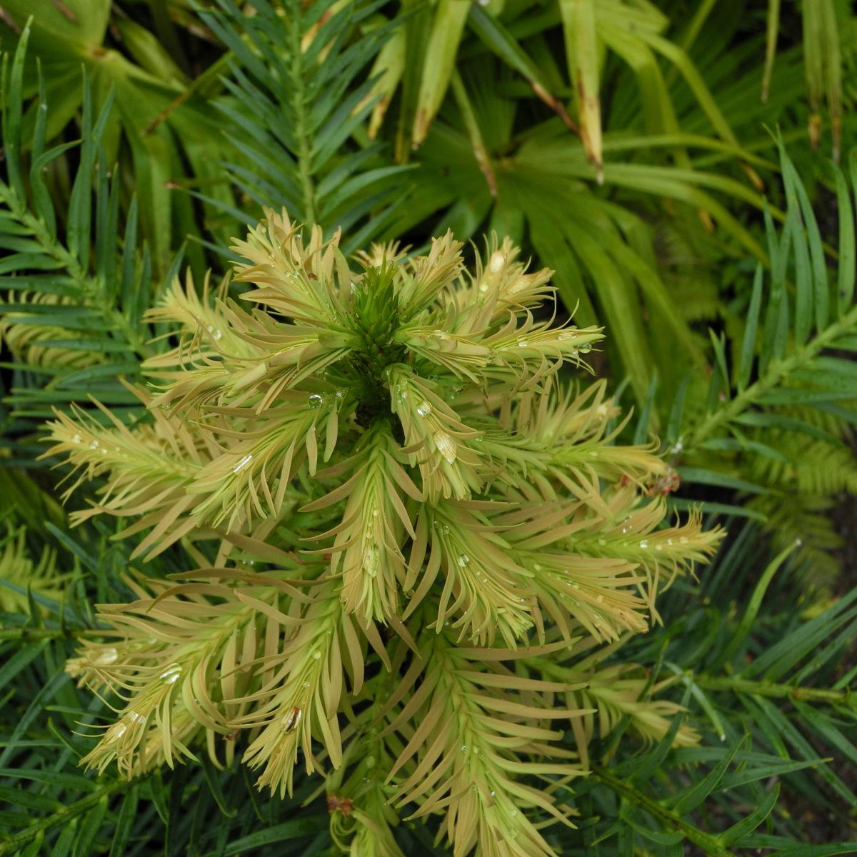 Wollemie Baum Nadel gruen Wollemia nobilis