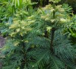 Wollemie Baum Nadel gruen Wollemia nobilis 07