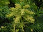 Wollemie Baum Nadel gruen Wollemia nobilis 08