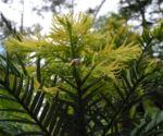 Wollemie Baum Nadel gruen Wollemia nobilis 09