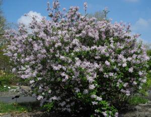 Wolliger Flieder Bluete weiss rosa Syringa pubescens 01
