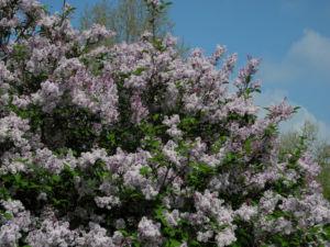 Wolliger Flieder Bluete weiss rosa Syringa pubescens 02