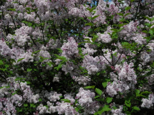 Wolliger Flieder Bluete weiss rosa Syringa pubescens 03