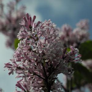 Wolliger Flieder Bluete weiss rosa Syringa pubescens 07