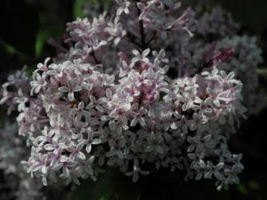Wolliger Flieder Bluete weiss rosa Syringa pubescens 08