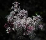 Bild: Wolliger Flieder Blüte weiß rosa Syringa pubescens