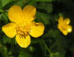 Wolliger Hahnenfuss Bluete gelb Ranunculus lanuginosus 01