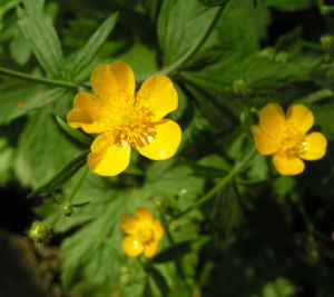 Wolliger Hahnenfuss Bluete gelb Ranunculus lanuginosus 02