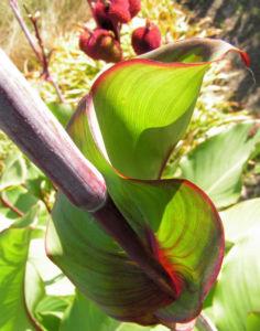 Wolliges Blumenrohr Bluete rot Samen roetlich Canna lanuginosa 04