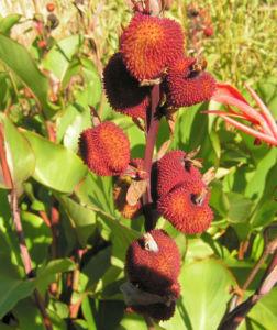 Wolliges Blumenrohr Bluete rot Samen roetlich Canna lanuginosa 05