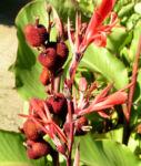 Wolliges Blumenrohr Bluete rot Samen roetlich Canna lanuginosa 11