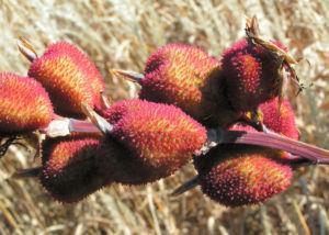 Wolliges Blumenrohr Bluete rot Samen roetlich Canna lanuginosa 16