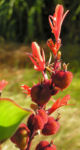 Wolliges Blumenrohr Bluete rot Samen roetlich Canna lanuginosa 17