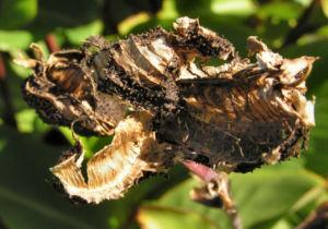 Wolliges Blumenrohr Bluete rot Samen roetlich Canna lanuginosa 19