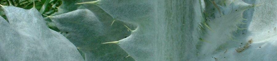 Anklicken um das ganze Bild zu sehen Wollkopf-Kratzdistel Blüte lila Cirsium-eriophorum