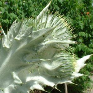 Wollkopf Kratzdistel Cirsium eriophorum 02