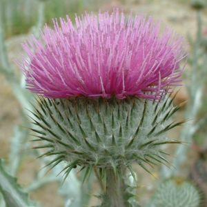 Bild: Wollkopf Kratzdistel Cirsium eriophorum