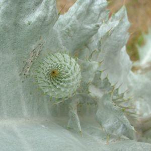 Wollkopf Kratzdistel Cirsium eriophorum 04