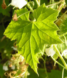 Wrights Stachelgurke Blatt Frucht Bluete weiss Echinopepon wrightii 10