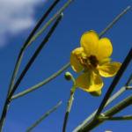 Wuesten Kassia Punty Bush Strauch Bluete gelb Senna eremophila punti 05