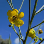 Wuesten Kassia Punty Bush Strauch Bluete gelb Senna eremophila punti 06