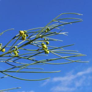 Wuesten Kassia Punty Bush Strauch Bluete gelb Senna eremophila punti 07
