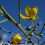 Bild: Wüsten Kassia Punty Bush Strauch Blüte gelb Senna artemisioides